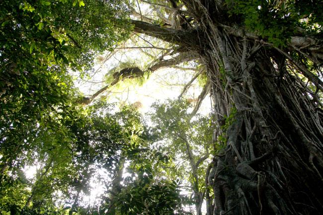 カセドラルフィグツリー